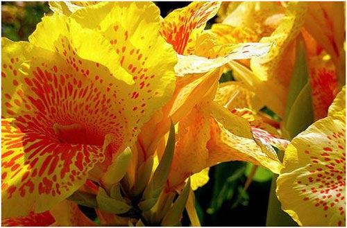 Chiêm ngưỡng 10 loài hoa quyến rũ nhất thế giới - 2
