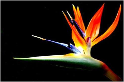 Chiêm ngưỡng 10 loài hoa quyến rũ nhất thế giới - 3