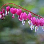 Du lịch - Chiêm ngưỡng 10 loài hoa quyến rũ nhất thế giới