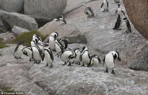 Cặp chim cánh cụt chung thủy nhất - 2