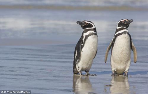 Cặp chim cánh cụt chung thủy nhất - 1