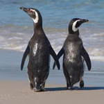 Phi thường - kỳ quặc - Cặp chim cánh cụt chung thủy nhất