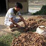 Thị trường - Tiêu dùng - Trung Quốc thu mua rễ cây để làm gì?