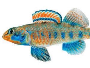 Loài cá mang họ của Tổng thống Obama - 1