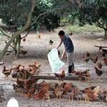 Thị trường - Tiêu dùng - Bắc Giang: Gắn tem cho gà đồi