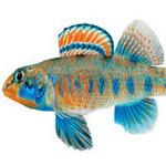Phi thường - kỳ quặc - Loài cá mang họ của Tổng thống Obama