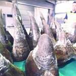 Tin tức trong ngày - 70% số sừng tê giác ở Việt Nam là giả