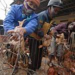 Thị trường - Tiêu dùng - Kinh hoàng con số nhập lậu gà thải TQ