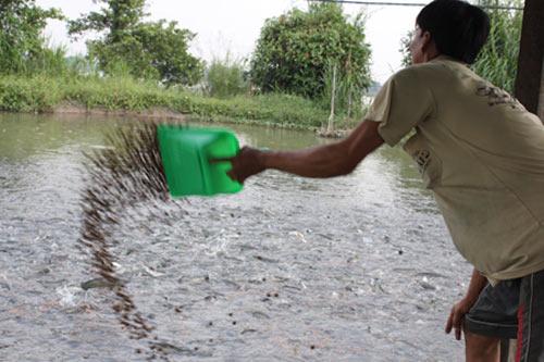 Dân nuôi cá lóc để cứu... cá tra - 1