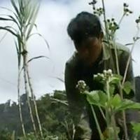 Tái trồng cây thuốc phiện ở Nghệ An