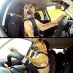 Phi thường - kỳ quặc - Kinh ngạc: Chó lái ô tô thành thục