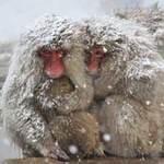 Tin tức trong ngày - Ảnh đẹp: Khỉ tuyết ôm nhau bên suối nước nóng