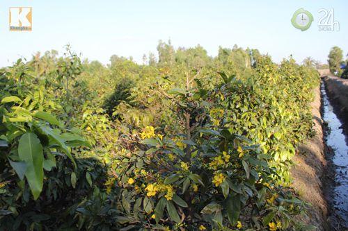 TP.HCM: Nhà vườn lo mất mùa mai Tết - 3