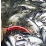 Thị trường - Tiêu dùng - Nghi ngờ khoản vay 38.000 tỷ đồng cho cá tra