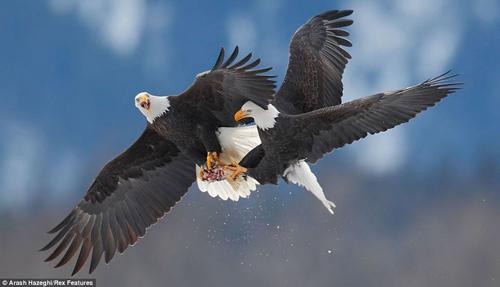Chùm ảnh: Đại bàng quyết chiến trên không - 1