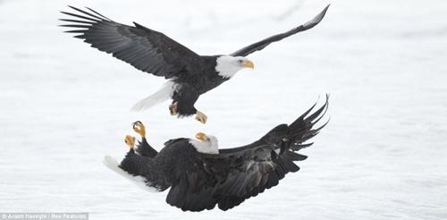 Chùm ảnh: Đại bàng quyết chiến trên không - 4