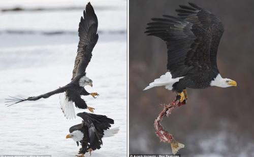 Chùm ảnh: Đại bàng quyết chiến trên không - 6