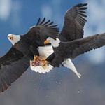 Tin tức trong ngày - Chùm ảnh: Đại bàng quyết chiến trên không