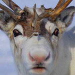 Tin tức trong ngày - Tại sao mũi tuần lộc của ông già Noel lại đỏ?
