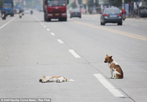 TQ: Chó canh xác bạn tình suốt 6 giờ - 2