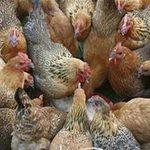 Tin tức trong ngày - Gà TQ được vỗ béo bằng... 18 loại kháng sinh