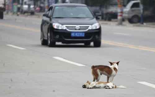 Ảnh đẹp: Chó đứng canh xác bạn tình - 4