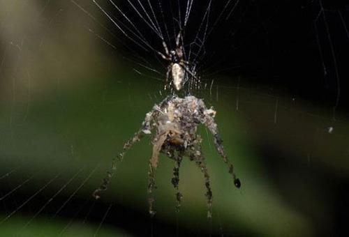 Loài nhện lạ biết tạo hình nộm thế thân - 1