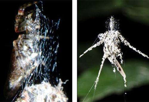Loài nhện lạ biết tạo hình nộm thế thân - 2