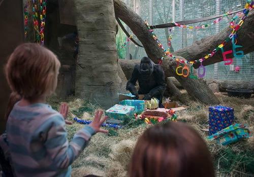 Khỉ đột già nhất TG mừng sinh nhật thứ 56 - 2