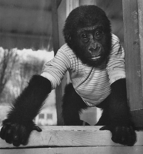 Khỉ đột già nhất TG mừng sinh nhật thứ 56 - 3