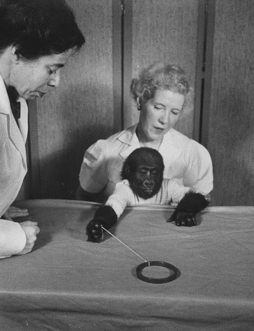 Khỉ đột già nhất TG mừng sinh nhật thứ 56 - 4