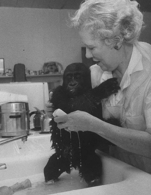 Khỉ đột già nhất TG mừng sinh nhật thứ 56 - 5