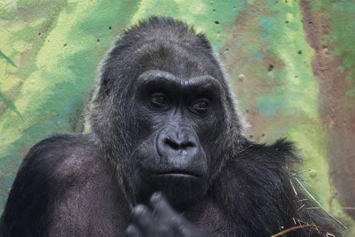 Khỉ đột già nhất TG mừng sinh nhật thứ 56 - 6