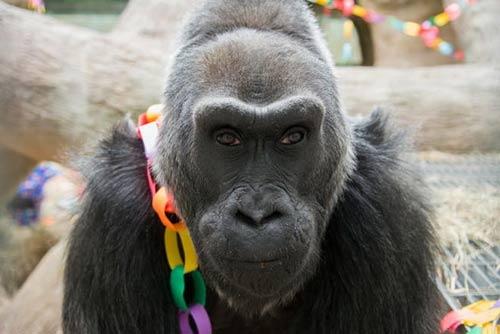 Khỉ đột già nhất TG mừng sinh nhật thứ 56 - 7