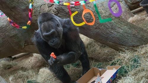 Khỉ đột già nhất TG mừng sinh nhật thứ 56 - 1
