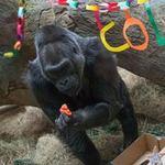 Tin tức trong ngày - Khỉ đột già nhất TG mừng sinh nhật thứ 56