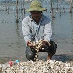 Thị trường - Tiêu dùng - Nghêu, cá chết hàng loạt vì ô nhiễm