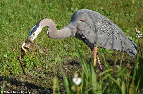 Bị mổ, rắn quấn chặt mỏ chim diệc - 2