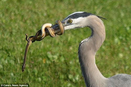Bị mổ, rắn quấn chặt mỏ chim diệc - 4