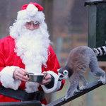 """Tin tức trong ngày - Ảnh đẹp: """"Quà Noel"""" cho vượn cáo"""