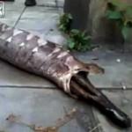 Tin tức trong ngày - Kinh hãi xem trăn khổng lồ ợ ra chó