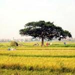 Du lịch - Gặt đầu mùa trong nắng thu