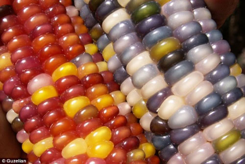 Kỳ thú giống ngô 7 màu như đá quý - 5