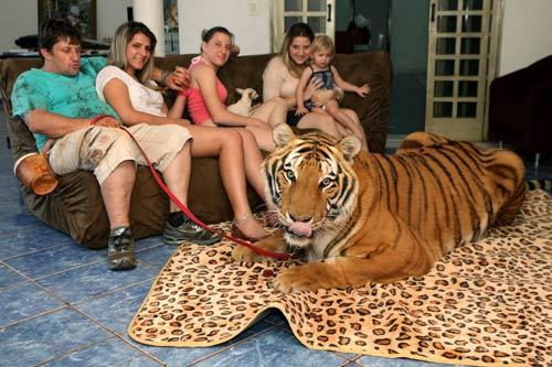 Gia đình sống chung với 7 con hổ dữ - 3
