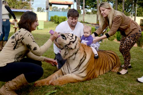 Gia đình sống chung với 7 con hổ dữ - 6