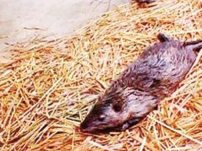 """Chuột """"thành tinh"""" dài 1 mét ở Trung Quốc - 2"""