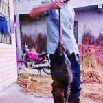 """Tin tức trong ngày - Chuột """"thành tinh"""" dài 1 mét ở Trung Quốc"""
