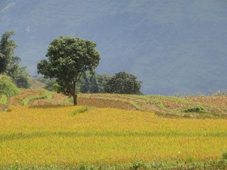 Quyến rũ sắc vàng mùa gặt ở Lùng Khấu Nhin - 1