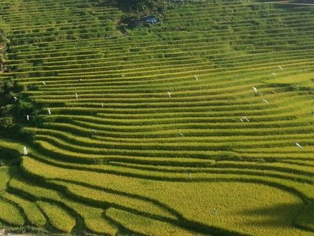 Quyến rũ sắc vàng mùa gặt ở Lùng Khấu Nhin - 3