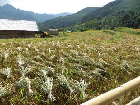 Quyến rũ sắc vàng mùa gặt ở Lùng Khấu Nhin - 6